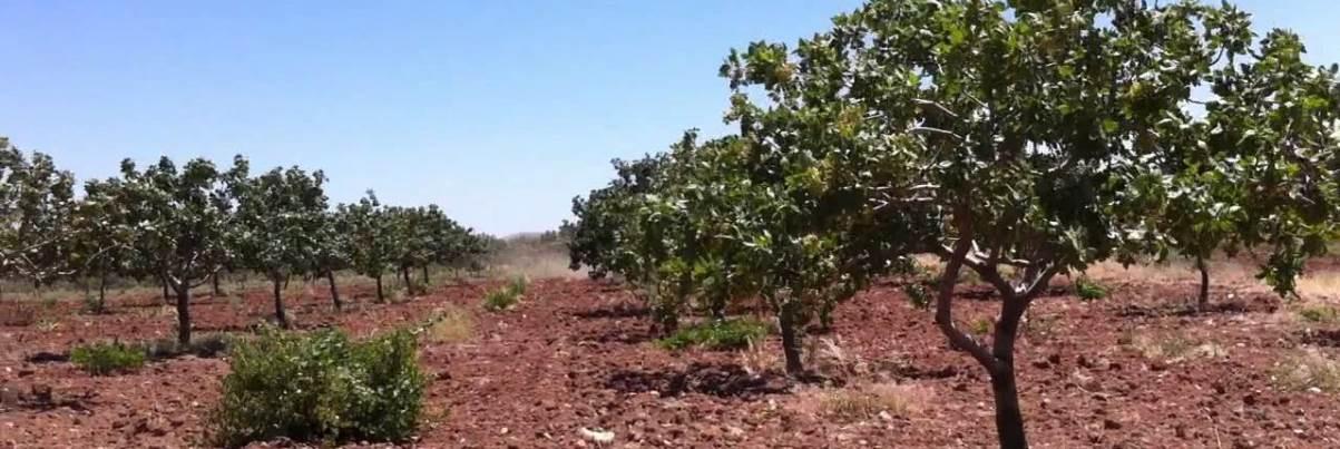 Gaziantep Araban'da İcradan Satılık Bağ ve Fıstık Bahçeleri