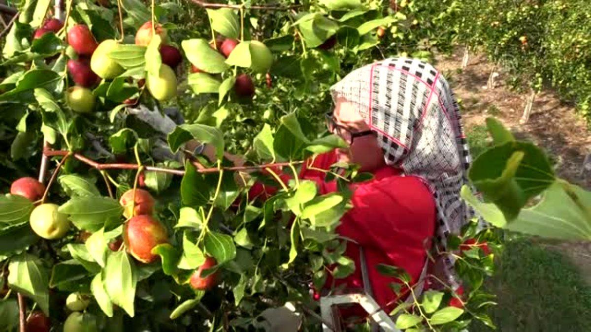 Amasya'da Hünnap Pekmezi Üretiliyor
