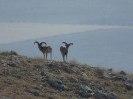 Anadolu Yaban Koyunun Envanter Çalışması Yapıldı