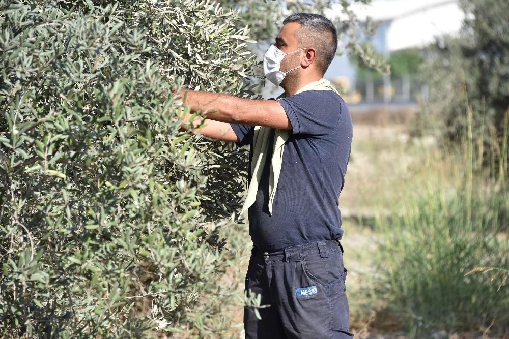 Büyükşehir, daldaki zeytini vatandaşın sofrasına ulaştırıyor