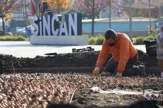 Sincan'da Binlerce Lale Soğanı Toprakla Buluştu