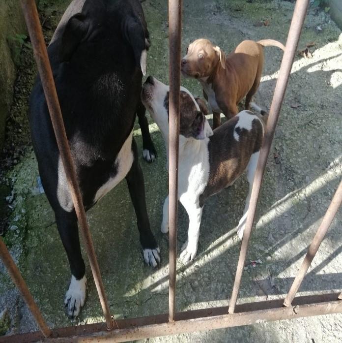 Yasak ırk köpek besleyen kişiye ceza yağdı