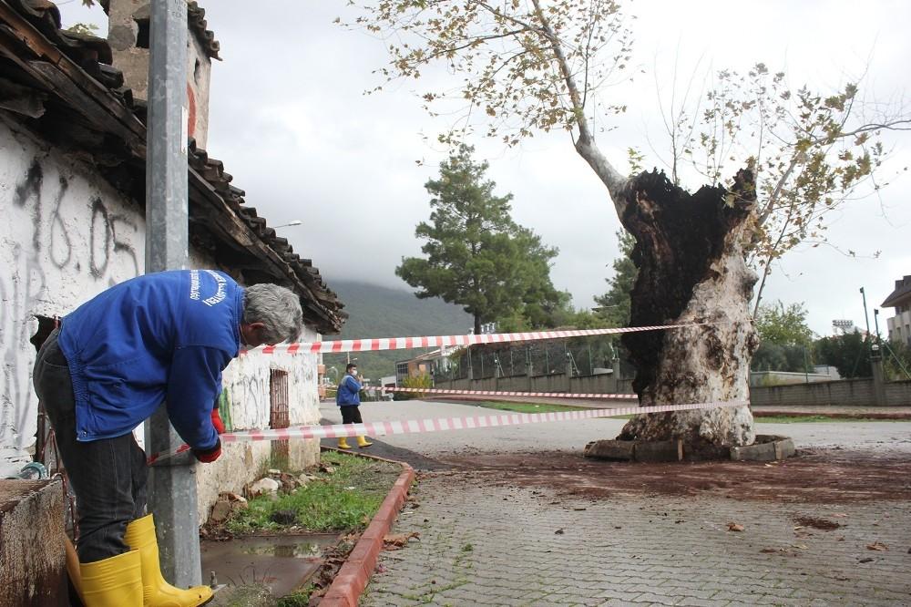 500 yılık çınar ağacı, kuvvetli yağışa dayanamadı