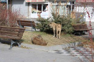 Ağrı'da kısıtlamalar sonrası cadde ve meydanlar sokak hayvanlarına kaldı