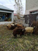 Ağrı'da küçükbaş hayvan çaldığı iddia edilen 2 kişi serbest bırakıldı