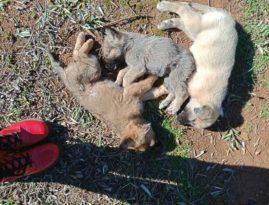 Antalya'da 12 sokak köpeği zehirlenerek öldürüldü iddiası