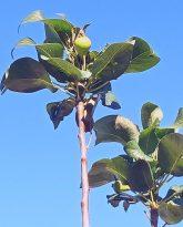 Armut ağacı aralıkta meyve verdi