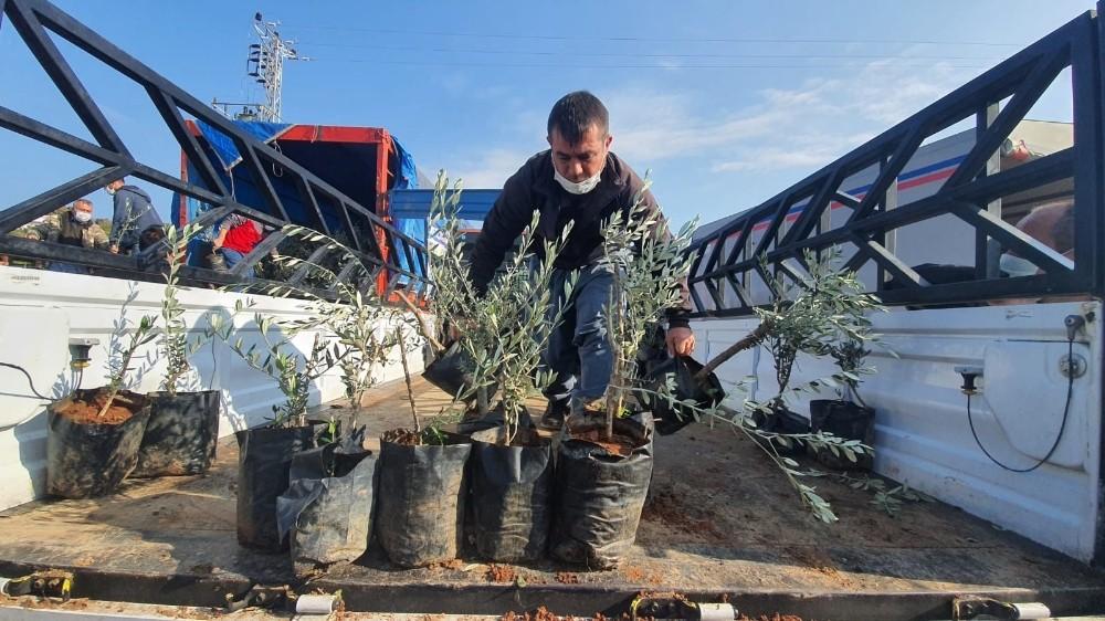 Büyükşehir Belediyesinden Tarsuslu üreticilere 9 bin zeytin fidanı