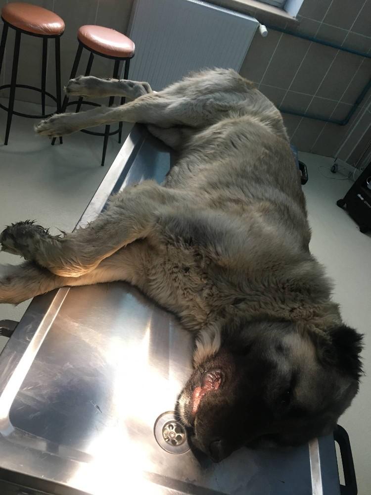 Dili damaklarına bitişik olan kangal köpeklere cerrahi müdahale yapıldı
