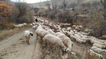 Sivas'ta Kar Altında Doğan Kuzuları Araçla Taşıdılar