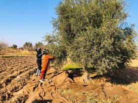 Tarım İşçileri Kısıtlamadan Muaf Zeytin Topladı