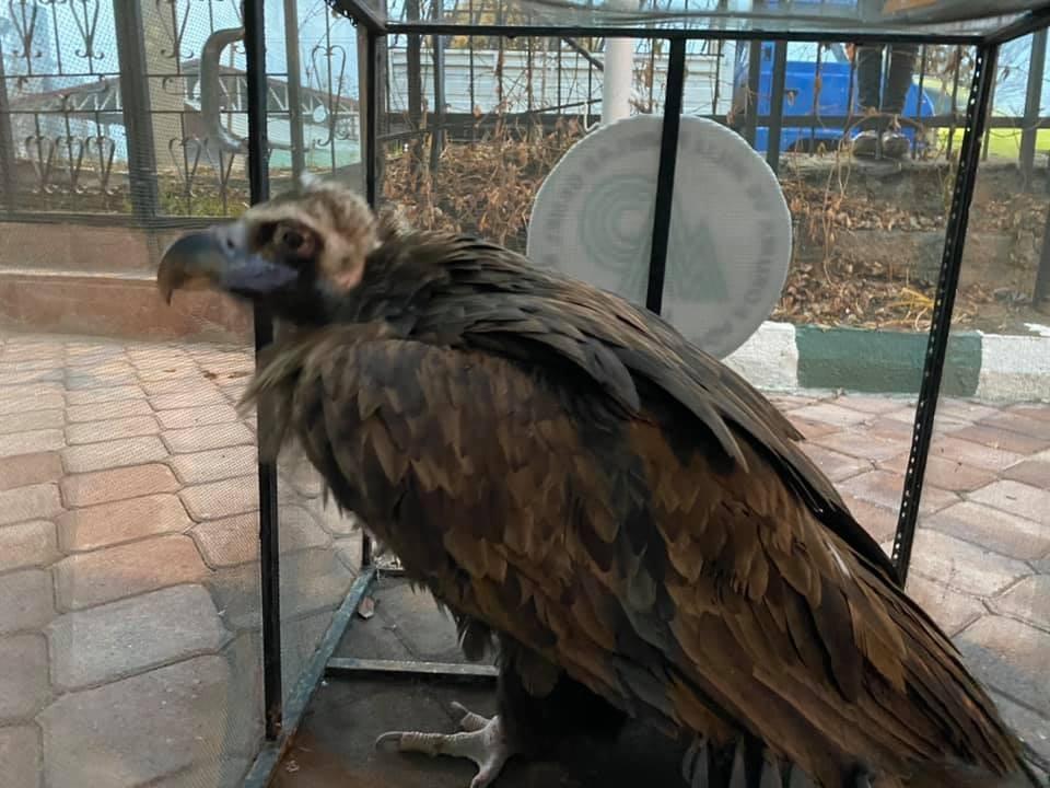 Yaralı kara akbaba tedavi altına alındı