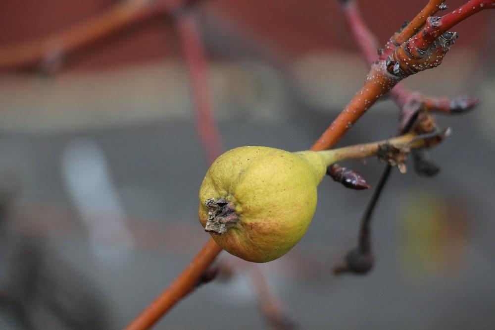 Yaz armudu aralık ayında yeniden meyve verdi
