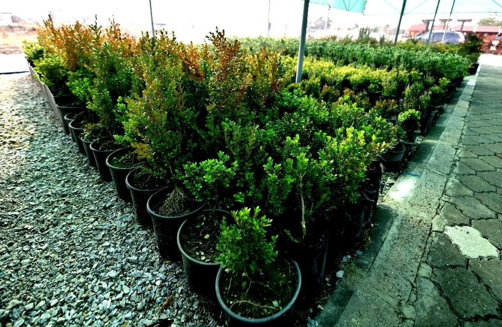 Altıeylül kendi bitkilerini yetiştiriyor