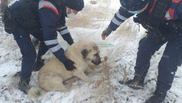Aracın çarptığı köpeği, jandarma hayvan hastanesine ulaştırdı