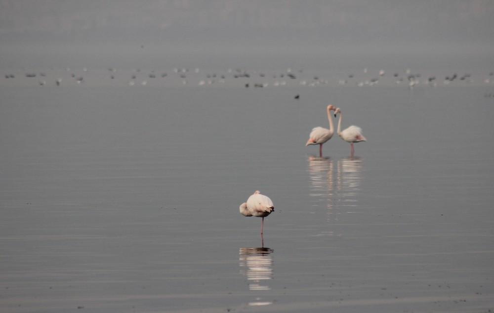 Güzellikleri ile büyüleyen flamingolar İzmit Körfezi'ni mesken tuttu