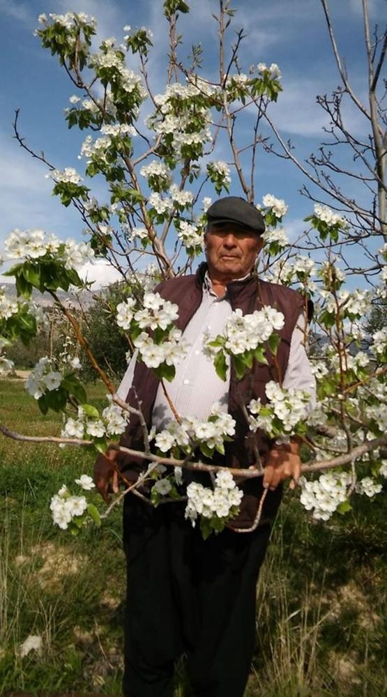Mersin'de armut ağacı çiçek açtı