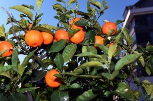 Muratpaşa'nın turunçları evlerde reçel oluyor
