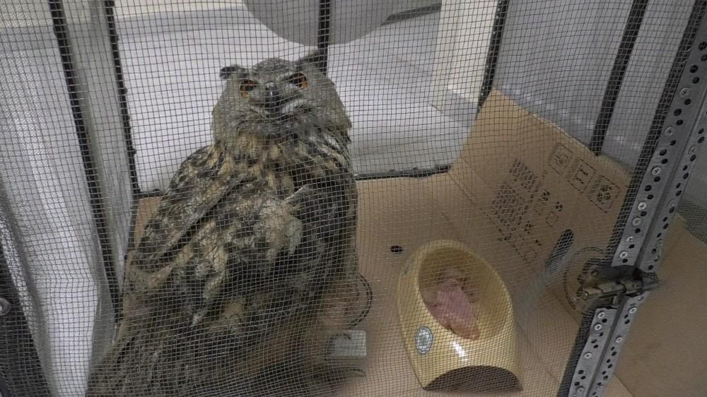 Tedavi edilen Puhu kuşu doğaya salındı
